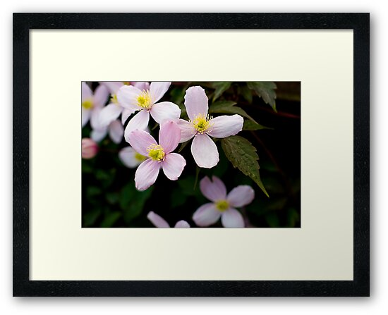 Clematis Flowers by Rob  Ford