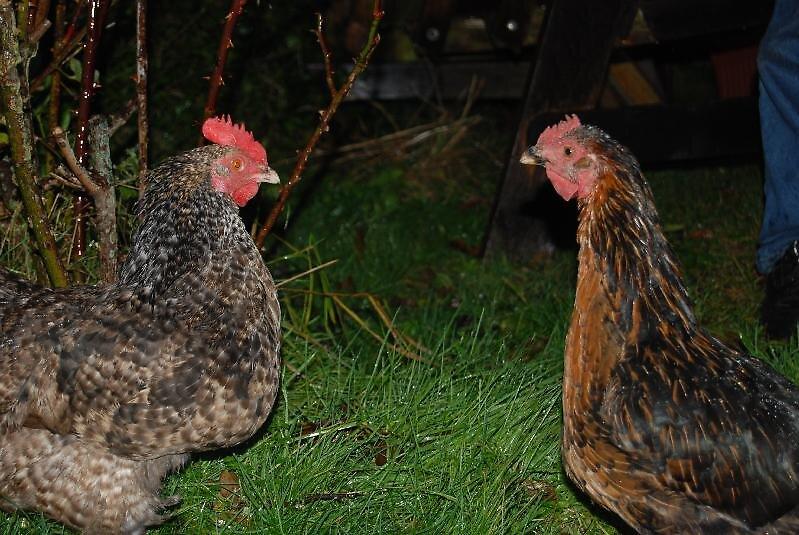 chicken talk by ampwizbit
