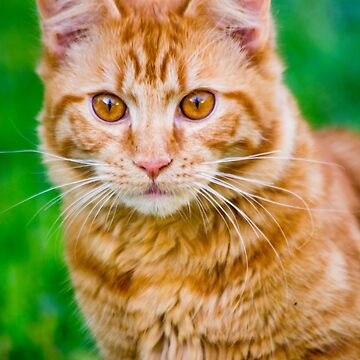 Gorgeous Ginger Kitten by risingstar