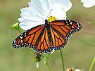 Monarch Butterfly on Cosmos by FrankieCat