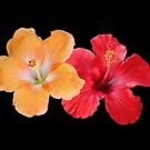 Hibiscus - Orange & Red by Sandy1949