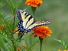Yellow female Eastern Tiger Swallowtail by FrankieCat