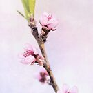 Spring at Last - Lovely Peach Blossoms by Anita Pollak