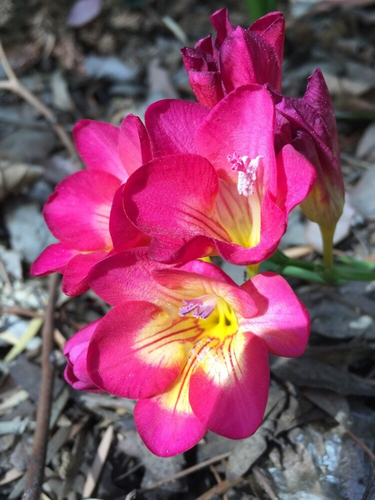 Freesia in the garden by douglasewelch