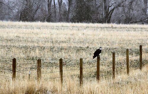 Osprey by Megan Newman