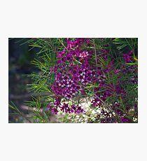 Geraldton Wax in Pinjarra Photographic Print