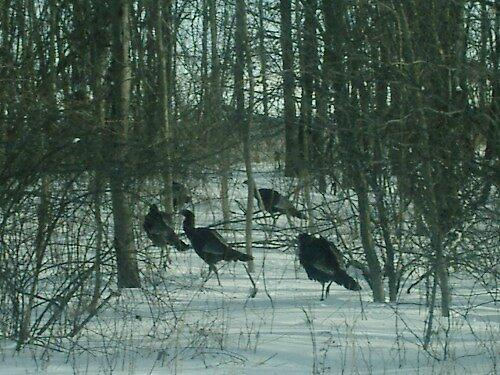 turkey vultures by chrislaf1972