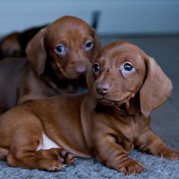 Two Puppies by risingstar