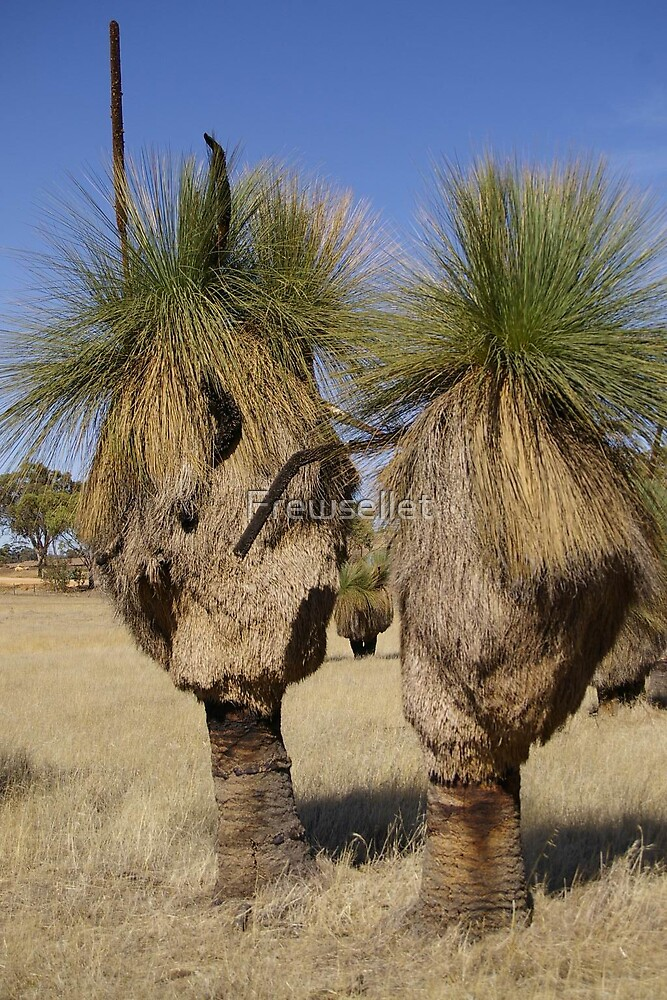 TWO GRASS TREE'S  by Frewsellet