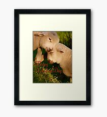 Happy Valentines Day - Lambs - NZ Framed Print
