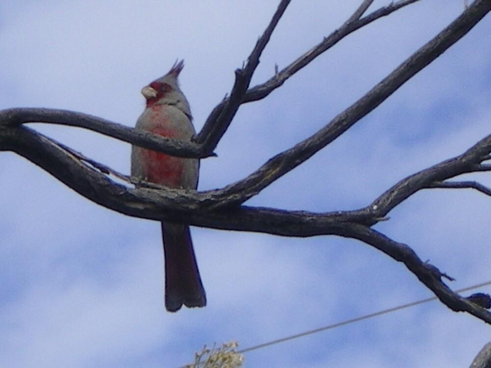 Arizona Cardinal by Reneeanndiaz