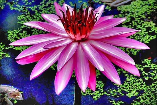 Splendid lotus flower by missmoneypenny