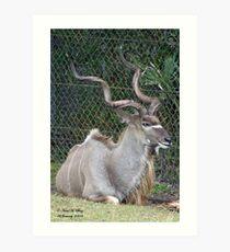 Greater Kudu Art Print
