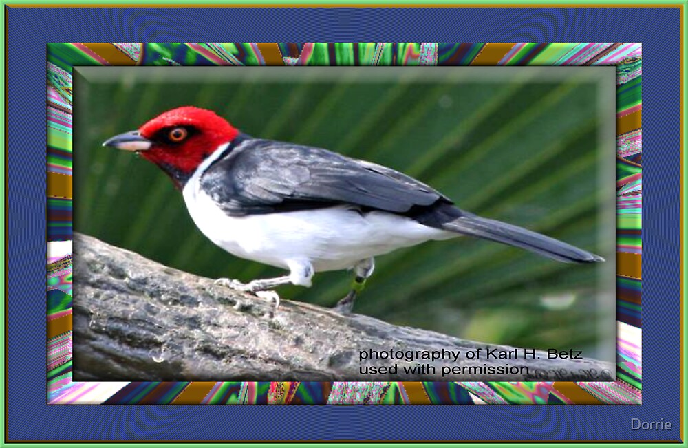 Red Capped Cardinal by Dorrie