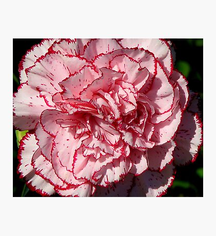 Carnation 2 Photographic Print