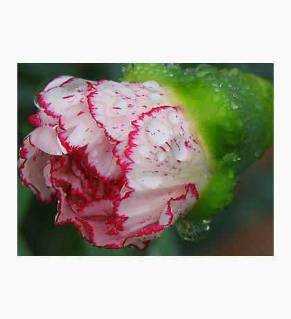 Carnation 1 Photographic Print