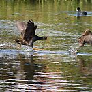 Chasing Ducky by Aaron  Sheehan