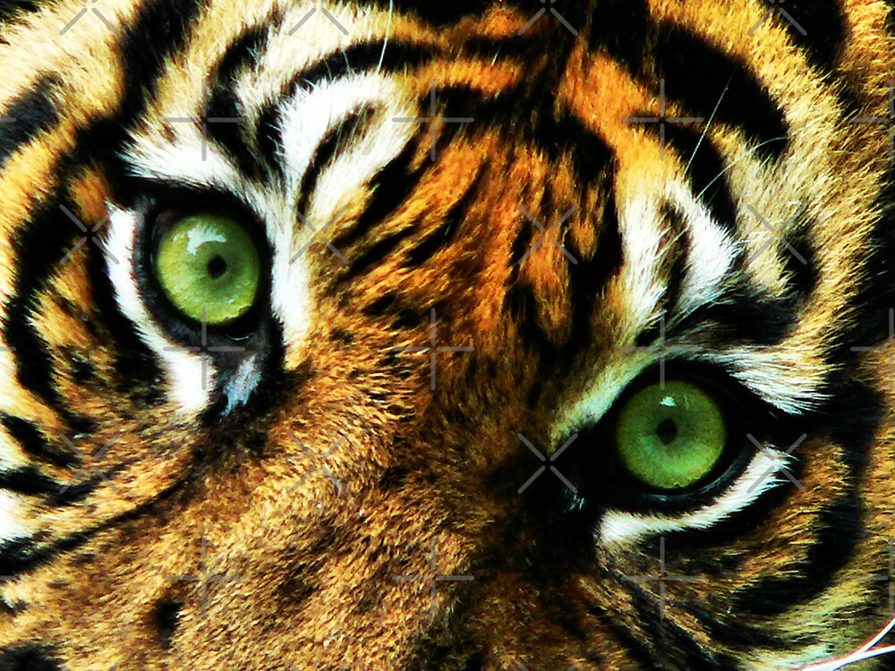 Big Cat Stare by BecsPerspective