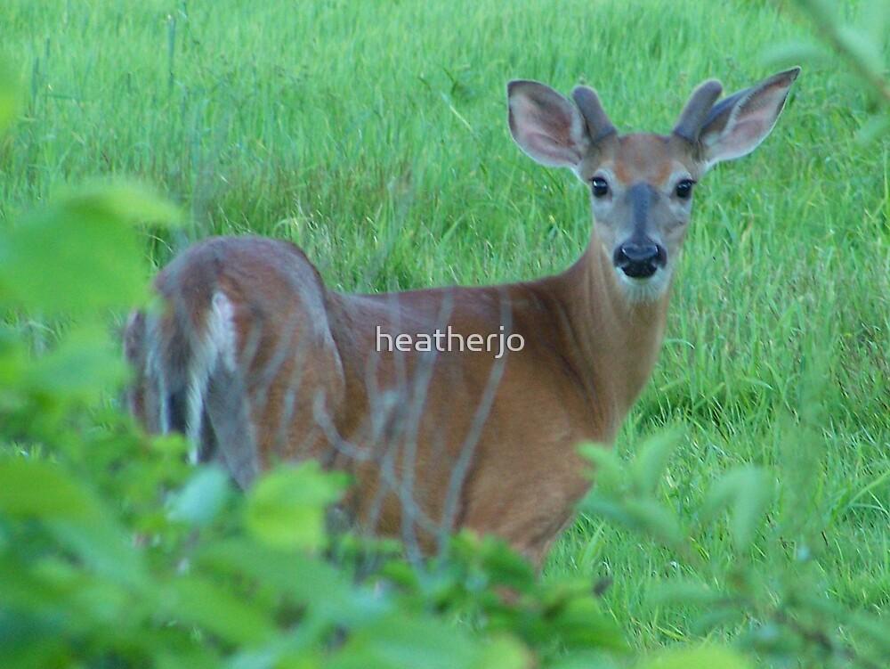 Beautiful Young Buck in Velvet by heatherjo