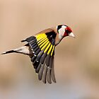 Goldfinch in flight by M S Photography/Art