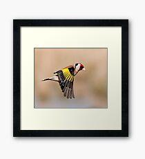 Goldfinch in flight Framed Print