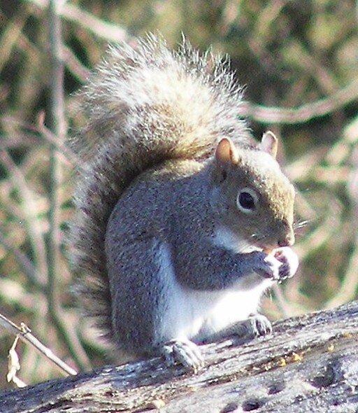 Squarrel by Lorrie