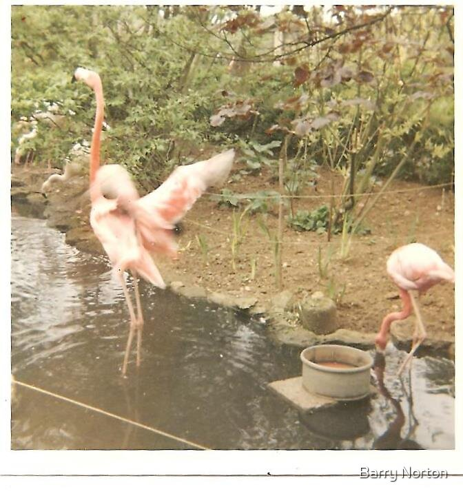 Flamingoes  by Barry Norton