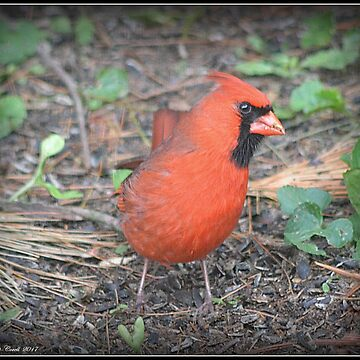 Watchful Male Cardinal by Badtgirl