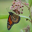 Monarch by Anne Smyth