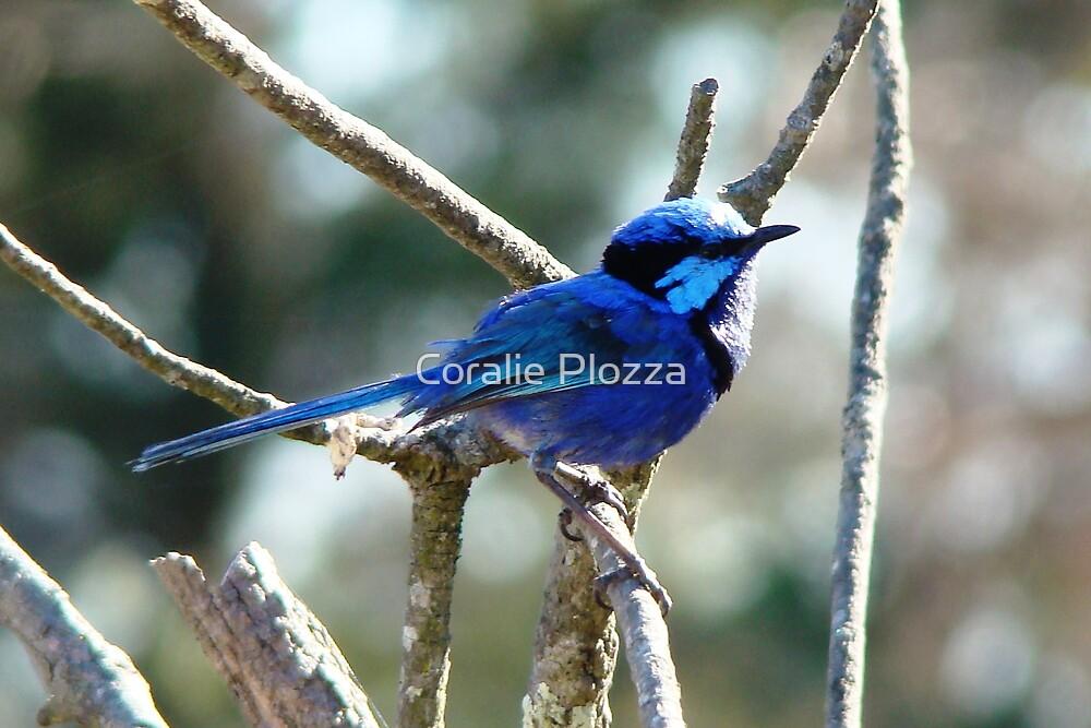Blue Wren by Coralie Plozza