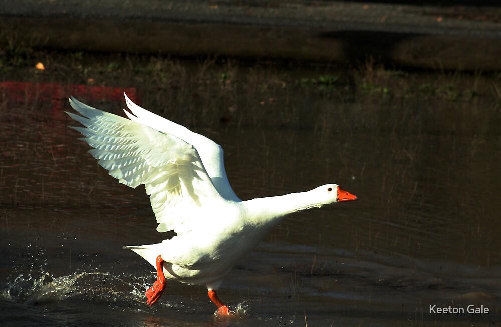 Snow Goose walking on water. by Keeton Gale
