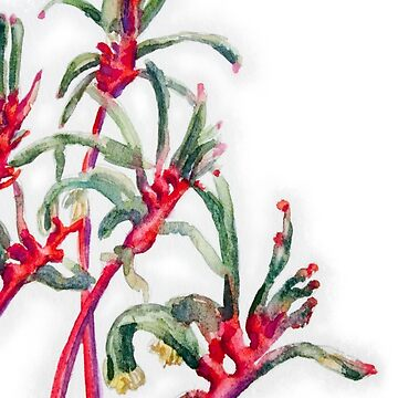 Mangles Kangaroo Paw (closeup white) by MCColyer