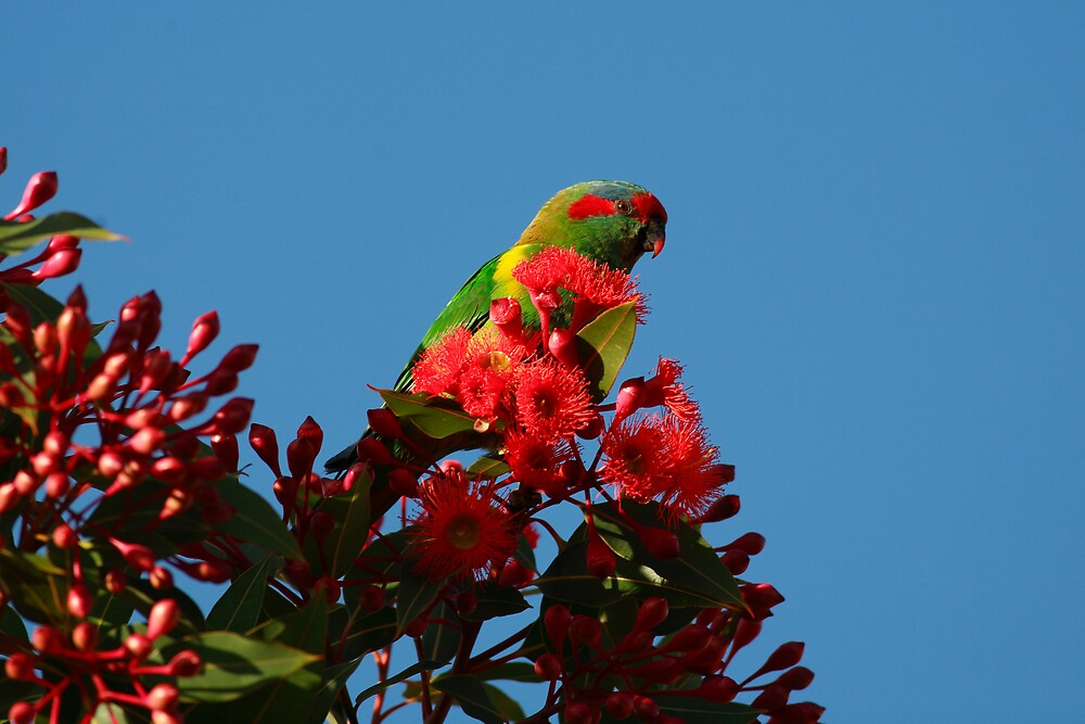 Parrot in Ficafolia Tree 2, Tasmania by David Jamrozik
