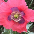 Poppy from Heaven by Randy Burns