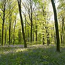 Springtime in Micheldever Wood, Hampshire by Alex Cassels