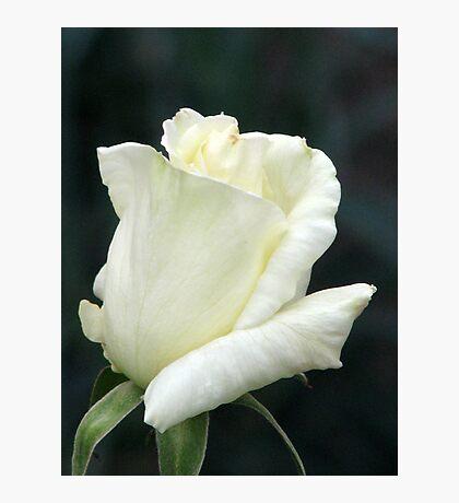 Rose White Photographic Print