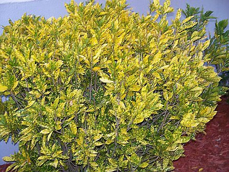 Yellow Bush by karen66