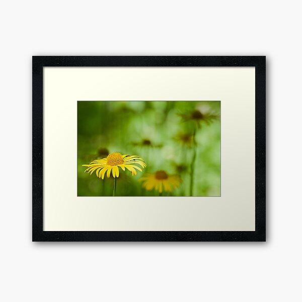 Yellow Marguerite Framed Art Print