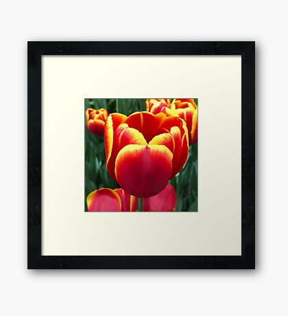 Holland Tulip closeup Framed Print