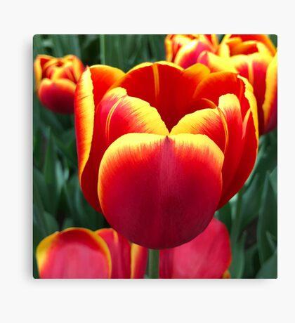 Holland Tulip closeup Canvas Print