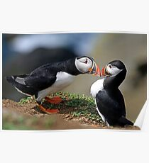 Puffin Courtship Poster