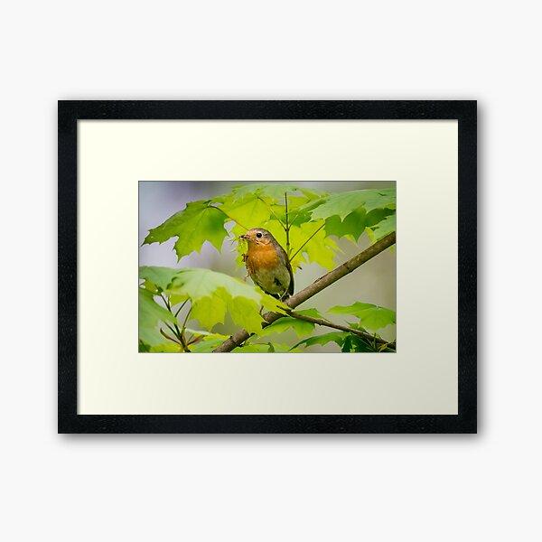 European robin Erithacus rubecula Framed Art Print
