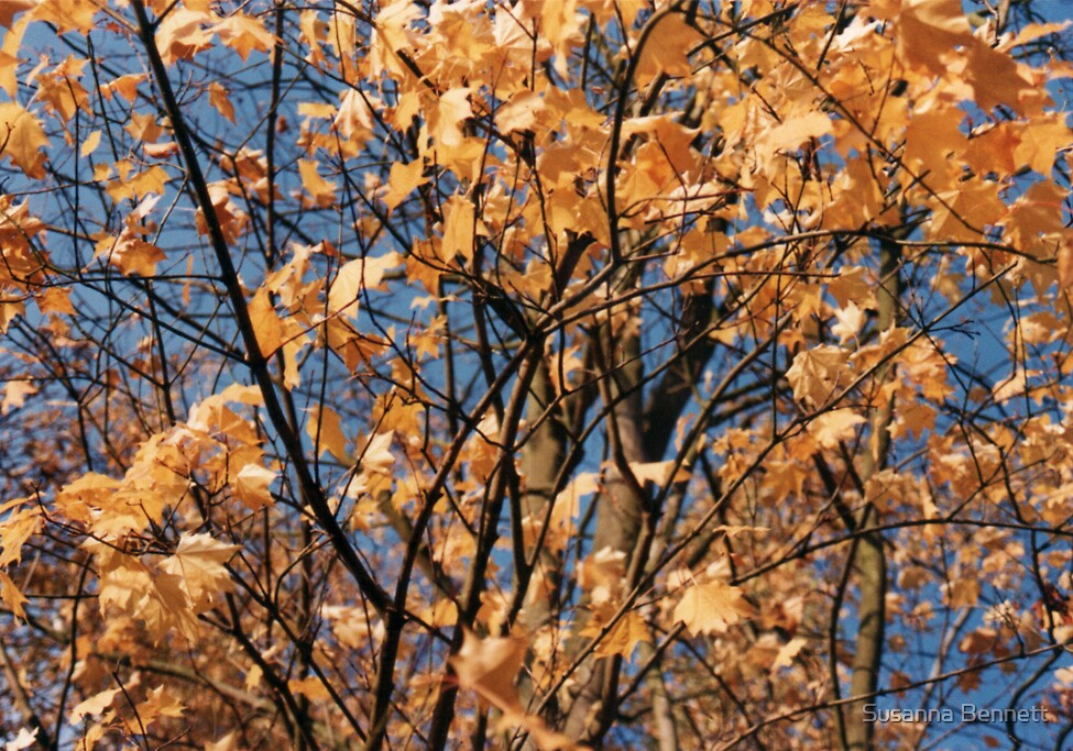 autumn leaves by Susanna Bennett