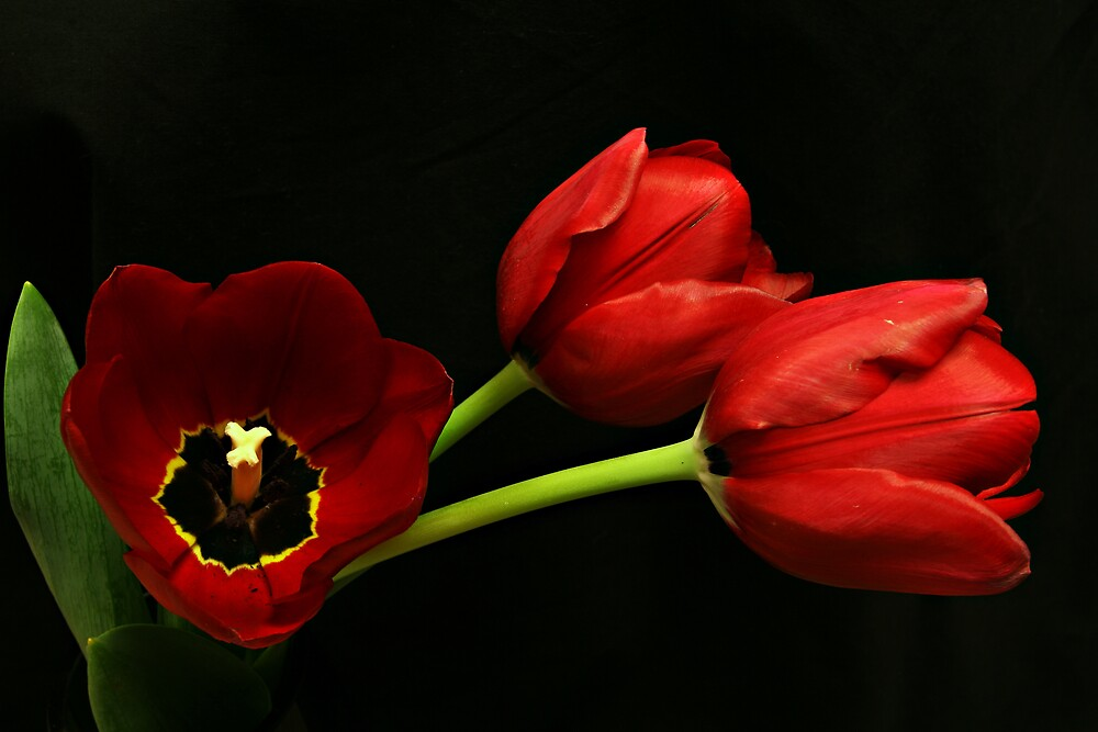 Brilliantly Red Tulips by Swede
