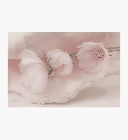 Three Pink Cosmo Flowers Photographic Print