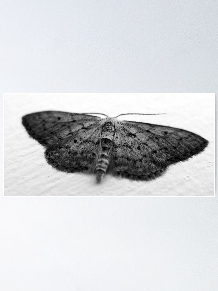 Alternate view of Moth  Poster
