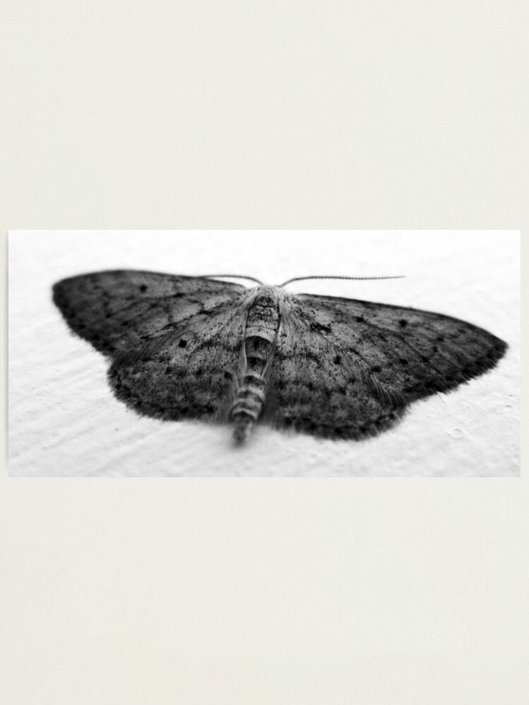 Alternate view of Moth  Photographic Print