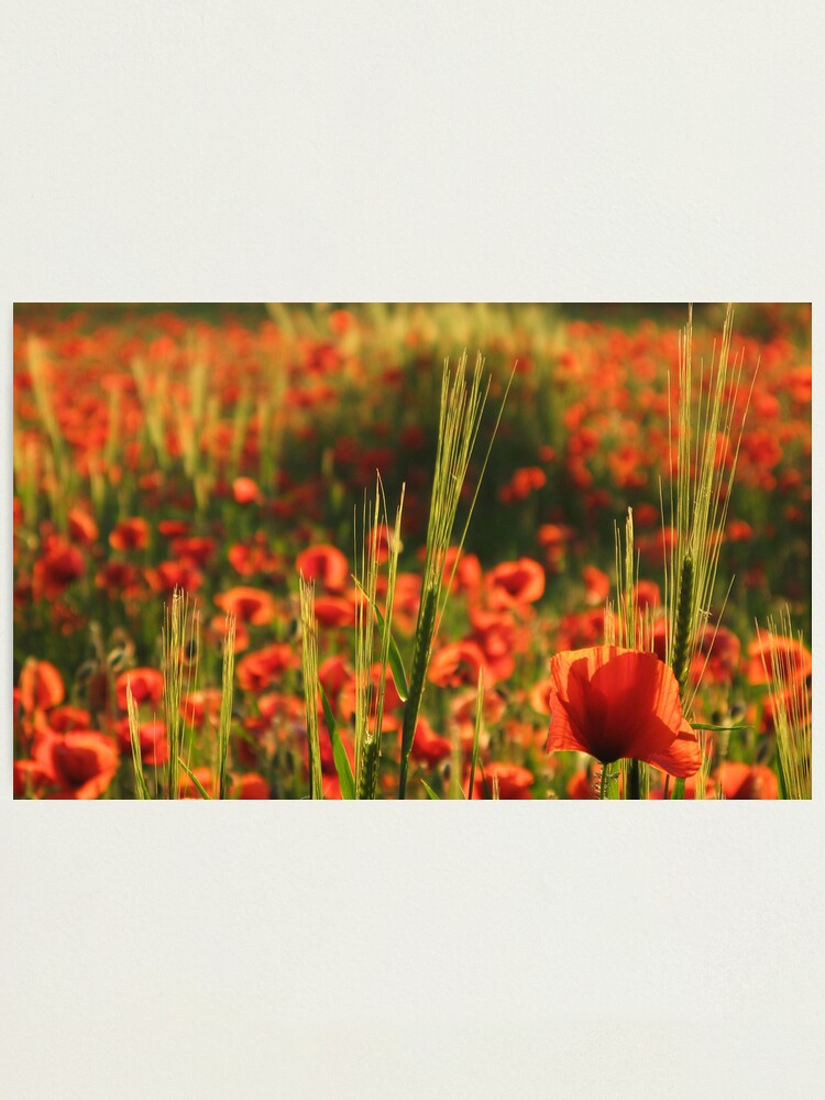 Alternate view of Poppies2 Photographic Print