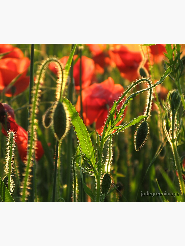 Poppies 5 by jadegreenimage