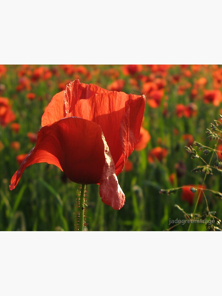 Poppies by jadegreenimage